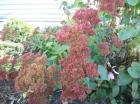 autumn-joy-sedum.jpg