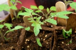Celebrity Tomato seedling